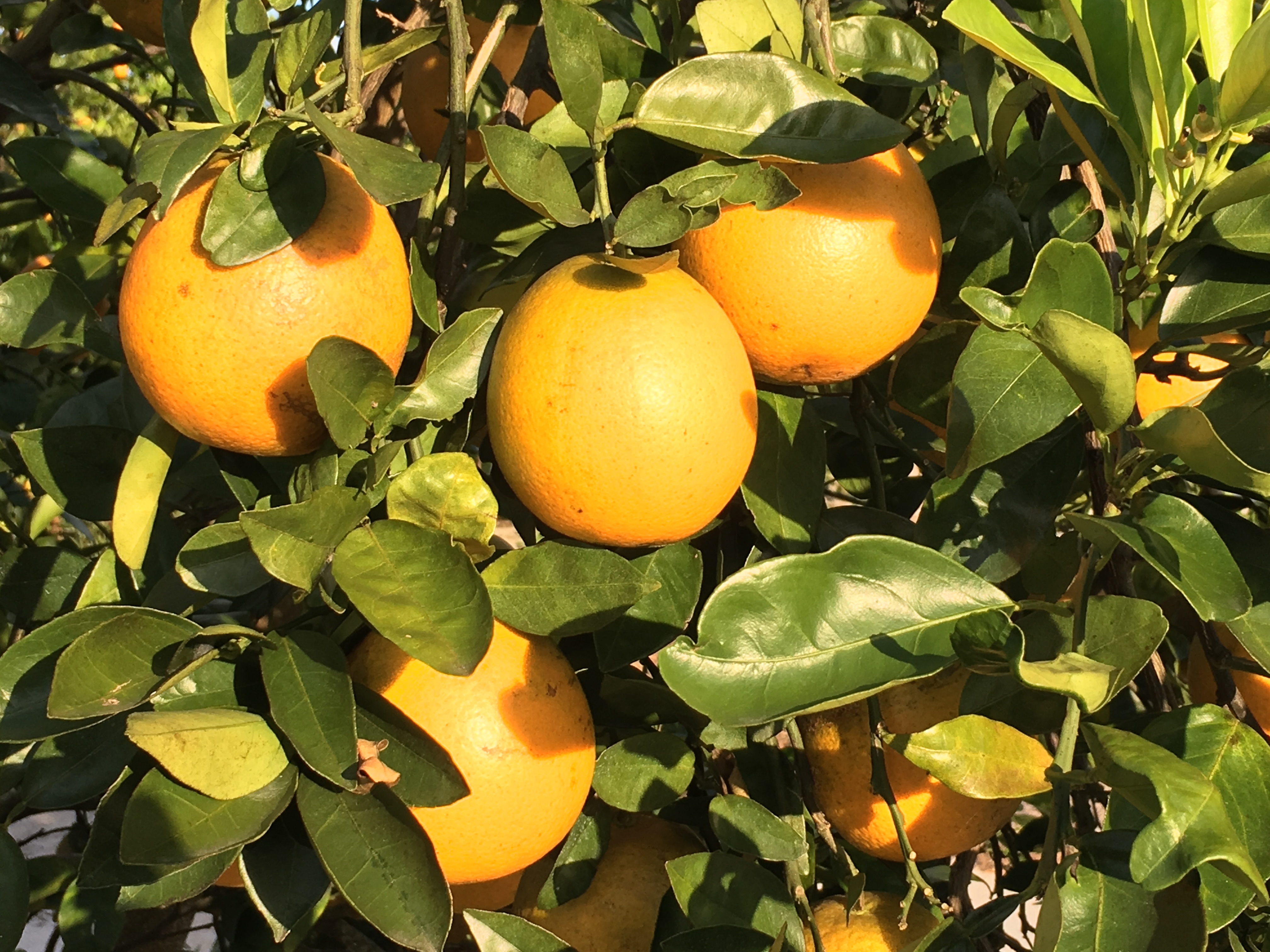 Photo of oranges growing on tree by Phil Bourke