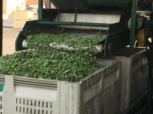 Photo of raw olives coming off conveyer belt by Phil Bourke